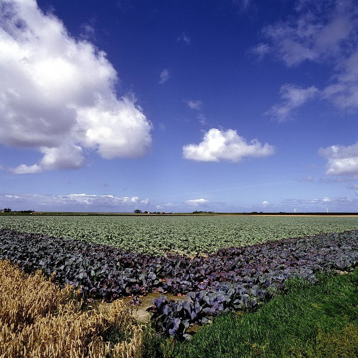 kohlfelder in dithmarschen, schlesiwg-holstein