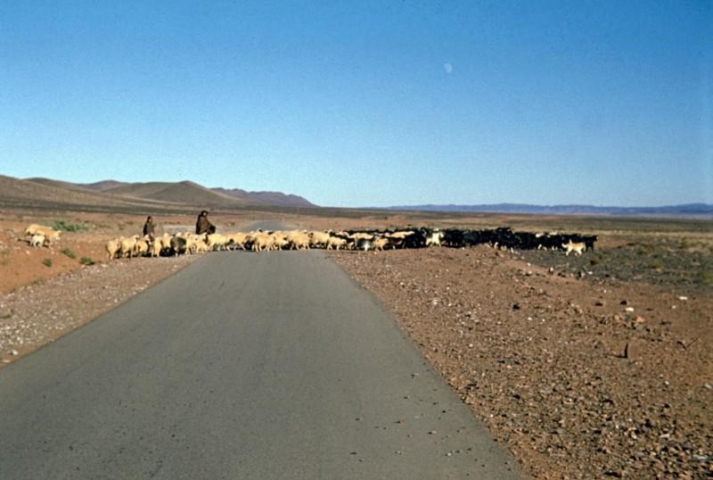 schafherde im großen süden, marokko 1969