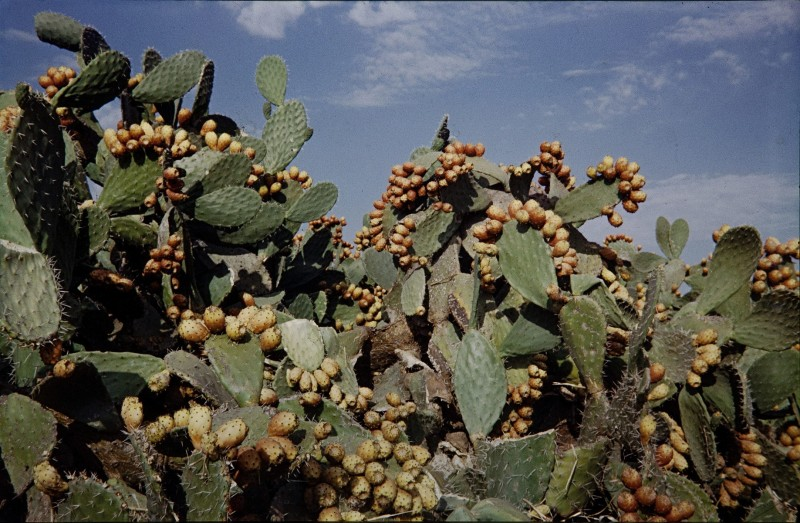 kakteenhecke, souk sebt bei rabat, marokko 1969
